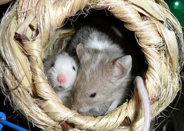 Сперма мыши, проведшая на МКС 9 месяцев, позволила получить здоровое потомство - ASTRONEWS.ru